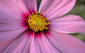 Argyranthemum — Stock Photo