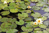 Water lily in a small lake — Stock Photo