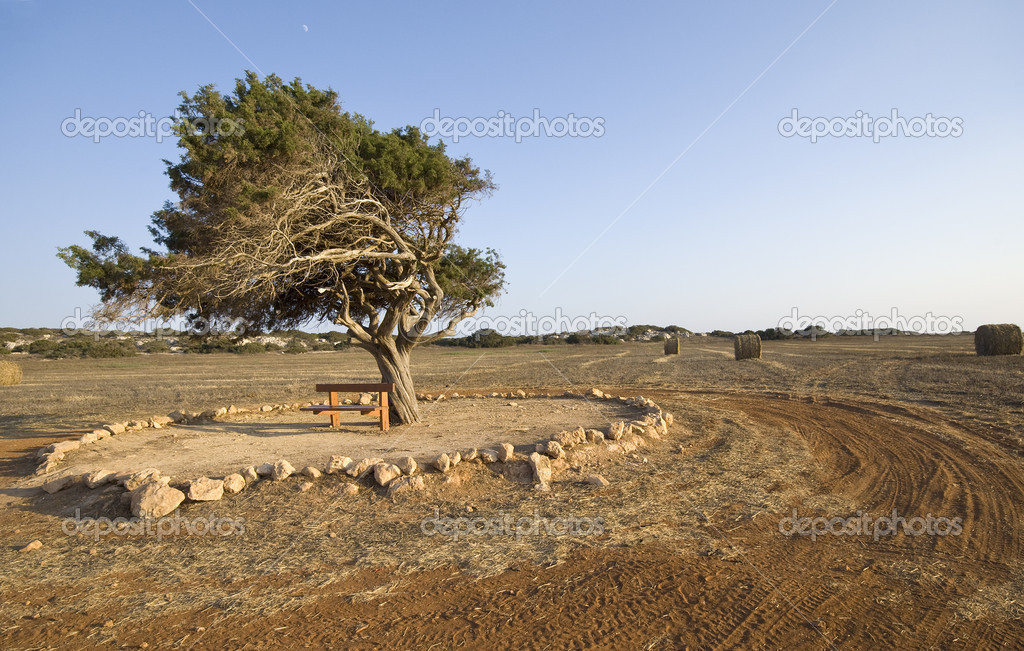 Fir tree on a wheat field late in summer from Cape Greco area near Ayia Napa in Cyprus. Below the tree is a wooden bench for relaxing. — Stock Photo #11163140