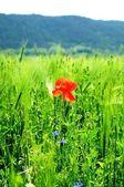 Campo de trigo con amapola roja — Foto de Stock