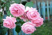 Pembe güller — Stok fotoğraf