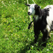 Black and white goat — Stock Photo