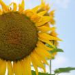 Stock Photo: Sun-flower