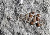 Fossil bony fish teeth — Stock Photo