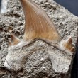 Foto de Stock  : Fossil shark tooth