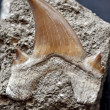 Stockfoto: Fossil shark tooth