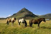 Cavalos em snaefellsnes — Fotografia Stock