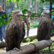 Stock Photo: Two eagles in the zoo