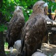 Two eagles in the zoo — Stock Photo