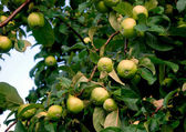 Young fresh green apples on tree in the garden in summer — Stock Photo