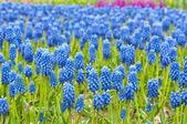 Blaue muscari hintergrund — Stockfoto