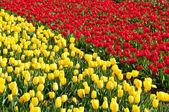 Schöne rote und gelbe tulpenfeld — Stockfoto