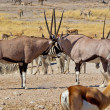Stock Photo: Two oryx antilopes