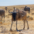 Wildebeest antilope — Stock Photo