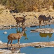 Kudu antelopes drinking from waterhole - Stock Photo
