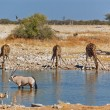 Giraffes drinking from waterhole - Stock Photo