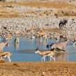 Antelopes drinking from waterhole - Stock Photo