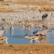 Antelopes drinking from waterhole — Stock Photo