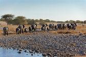 Elephants leaving waterhole — Stock Photo