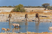Giraffes drinking from waterhole — Stock Photo