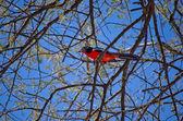 Colorful crimson-breasted shrike — Stock Photo