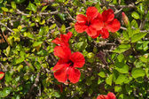 Hibiskus flowers — Stock Photo