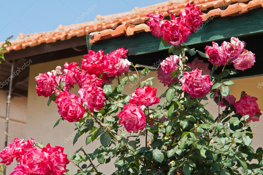 Beautiful blooming pink roses in a garden in front of a house — Stock Photo #11576148