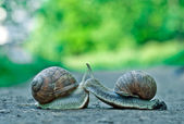 The snails in love — Stock Photo