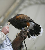 Aguila in the grip of a falconer — Stock Photo
