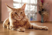 Maine Coon Kitten lying on the floor — Stock Photo
