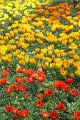 Canteiro de flores com flores multicolor gazania — Fotografia Stock