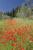 Fantastic tuscan landscape with poppies — Stock Photo