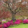 Spectacular flowering of azaleas and rhododendrons under beech - Stock Photo