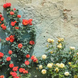 Colorful rose creeper — Stock Photo