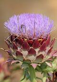 Macro of blooming artichoke — Stock Photo