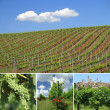 Green vineyards — Foto Stock