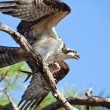 Stock Photo: Osprey with Fish at Gulf Islands National Seashore
