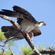 Osprey with Caught Fish on tree branch — Stock Photo