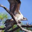 Osprey Flapping Wings Holding Fish in Tree — Stock Photo