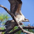 Stock Photo: Osprey Flapping Wings Holding Fish in Tree