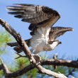 Stock Photo: Osprey Taking Flight with Fish at Gulf Islands National Seashore