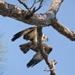 Foto Stock: Osprey with Mackerel in Tree at Gulf Islands National Seashore