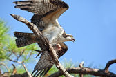Osprey with Fish at Gulf Islands National Seashore — Stock Photo