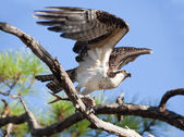Osprey Taking Flight with Fish at Gulf Islands National Seashore — Stock Photo