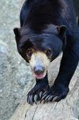 Sun bear — Stock Photo