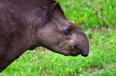 Tapirus — Stock Photo