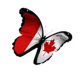Canadian flag butterfly flying, isolated on white background — Stock Photo