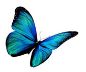 Turquoise butterfly flying, isolated on white background — Stock Photo
