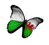 Vlajka walesu motýl létající, izolovaných na bílém pozadí — Stock fotografie