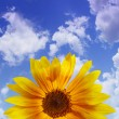 The blue sky with sunflower, background — Стоковая фотография